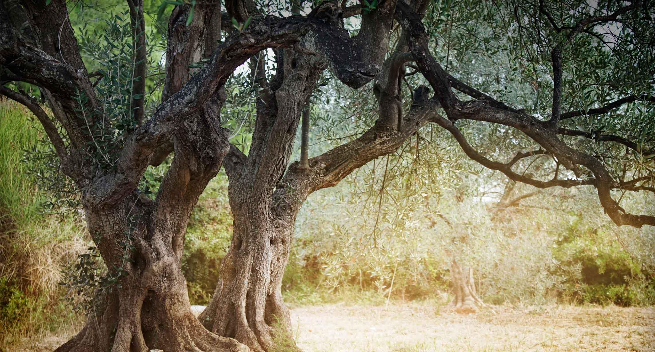 Fin dalla Bibbia l'olivo è segno di sacralità